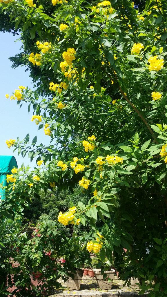 サールナートの遺跡で見つけた黄色い花